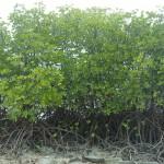 Mangrove-krokodiler?